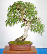 European White Birch Bonsai Tree Chinese Bonsai Garden