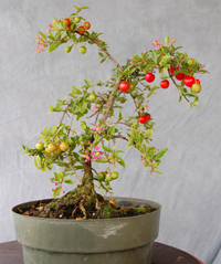 Barbados Cherry Bonsai Tree Chinese Bonsai Garden