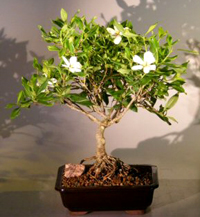 Gardenia Bonsai Tree Chinese Bonsai Garden