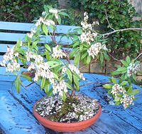 Japanese Andromeda Bonsai Tree Chinese Bonsai Garden