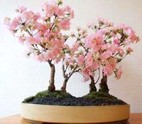 Japanese Cherry Bonsai Tree Chinese Bonsai Garden