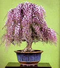 Japanese Wisteria Bonsai Tree Chinese Bonsai Garden