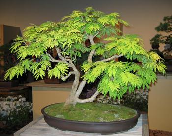 Mimosa Bonsai Tree Chinese Bonsai Garden