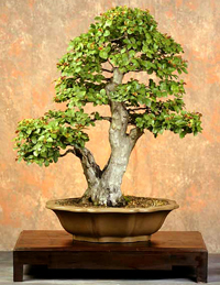 Neea Bonsai Tree Chinese Bonsai Garden